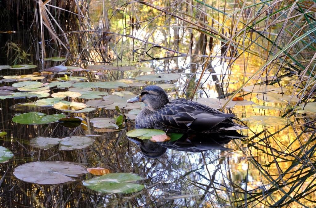 duck-1025142