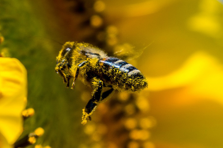 bee-focus-sunflower-composition